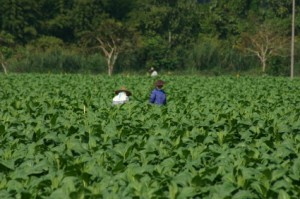Workings Farming Tobacco