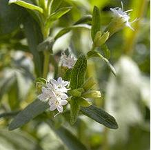 pic-stevia-crops