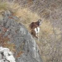 Animali del Bosco: il Muflone