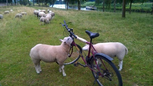 Netherlands. Sheep in Weert