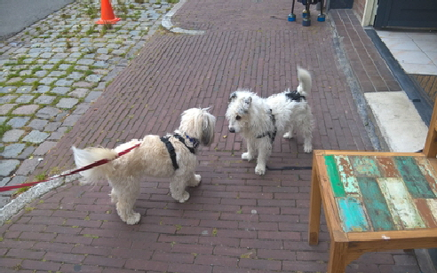Molly meeting a Groningen dog