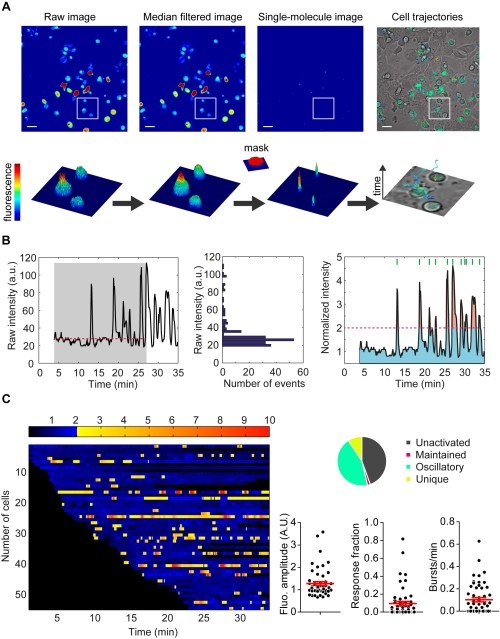 small resolution of t cell calcium signal processing a automatic tracking of high density moving cells by maaacs b automatic signal analysis normalization thresholds