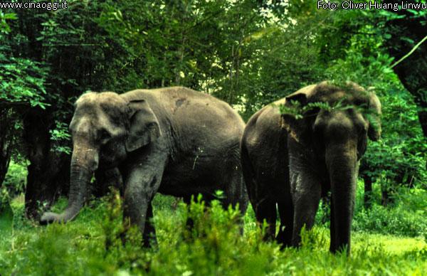 animals of China - Wild Asian Elephant