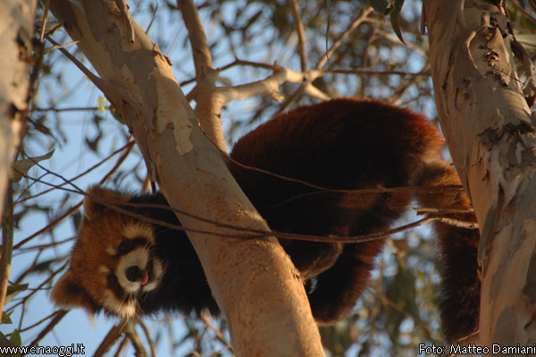 animals of China - red panda images