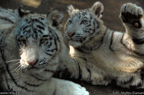 animals of China - white tigers images