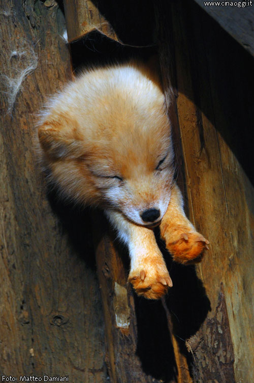 animals of China - cute red fox images