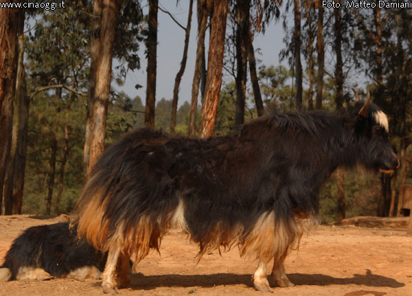 animals of China - yak images