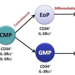 Cmp Lab Diagram Wiring Ceiling Light Why Do We Study Eosinophil Development Fulkerson Eosinophils Like All Blood Cells Are Produced In The Bone Marrow From Hematopoietic Stem
