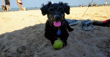 Truffles at Montrose Dog Beach in Chicago, IL