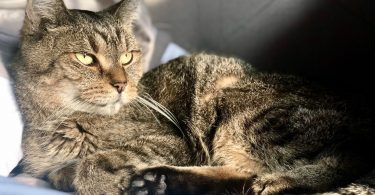 Druscilla senior adoptable cat with Ohio Alley Cat Resource