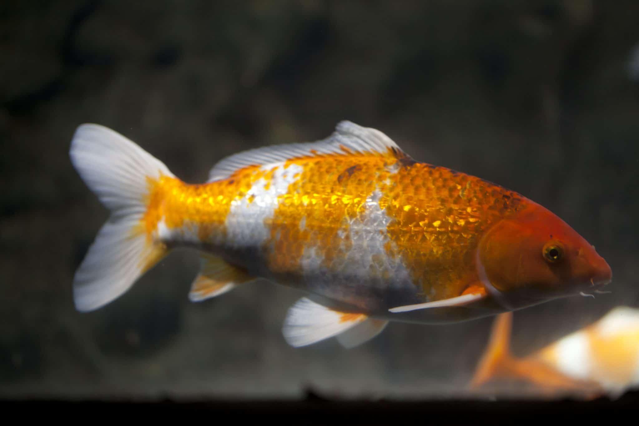 Carpe Koï Gardon - Aquarium de Paris