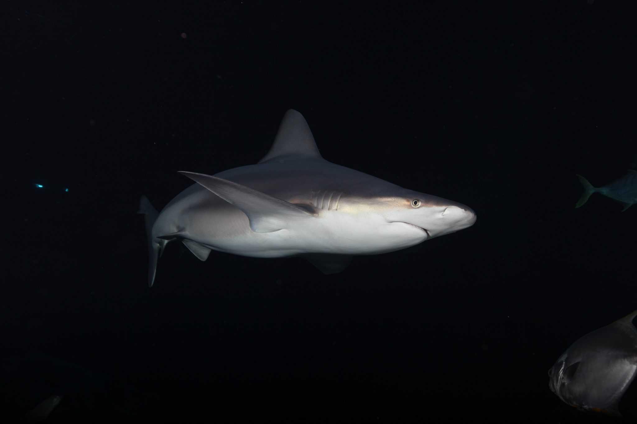 Requin gris - Aquarium de Paris