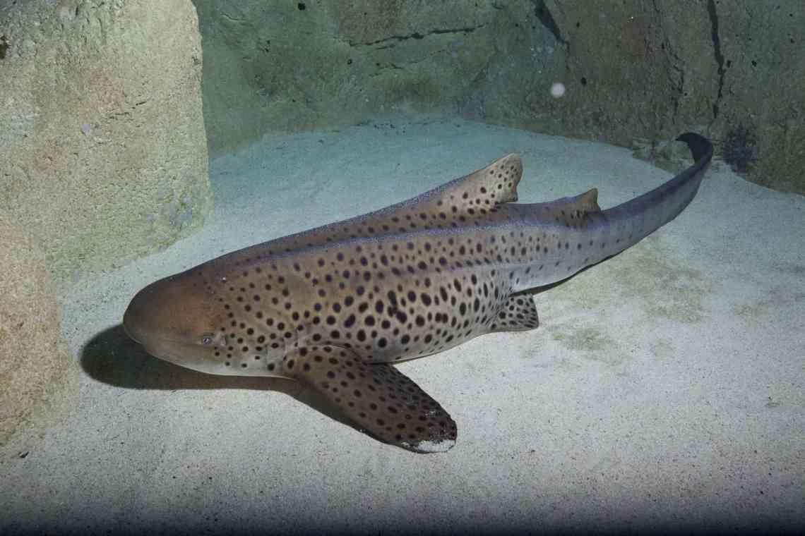 Requin zèbre - Aquarium de Paris