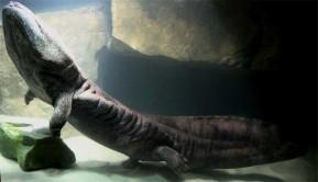 Óriás szalamandra