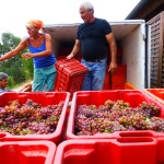 cooling the grapes before the vinification