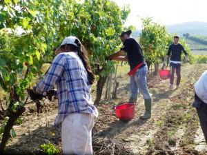 Brunello Montalcino harvest 2013