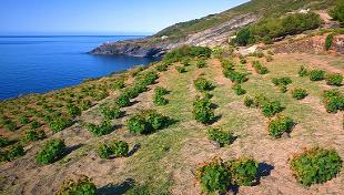 viti ad alberello Pantelleria