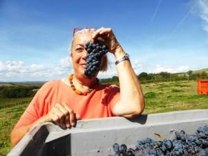 Brunello di Montalcino - Sangiovese grapes harvest