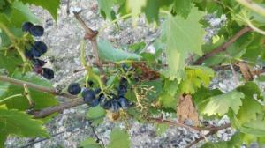 Toscana-cinghiali-danni-ai-vigneti