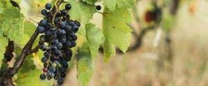 Cesare-Intrieri-sui-nome-dei-vitigni-ibridi-resistenti