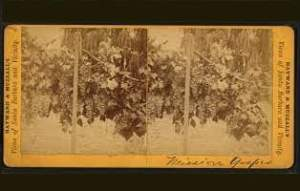 mission-uva-e-vitigno-resuscitati-dell'oblio