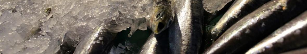 L'anchois, le poisson emblématique des Cinque Terre