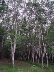 Piantagione di alberi della gomma in Thailandia