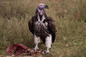 rapace-avvoltoio