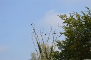 Navigazione sul Sile, cormorani
