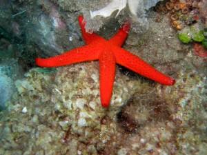 Parco nazionale delle cinque terre, stella marina