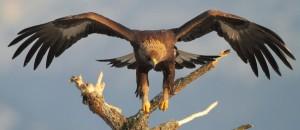 Parco nazionale dello Stelvio, aquila reale
