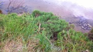 Riserva naturale Salina di Cervia, salicornia o asparago di mare