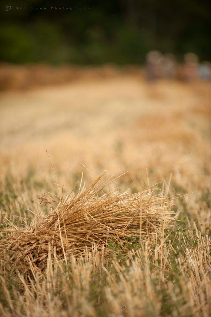 WHeat Harvest2