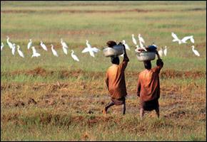 ricepaddy_india