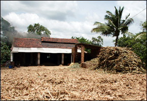 Sugar cane futures up from drought in India