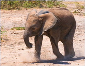 More than 40 elephants have died in the past two months in the Laikipia, Isiolo and Samburu districts, as the severe drought challenges Kenyan wildlife's capacity to feed itself.