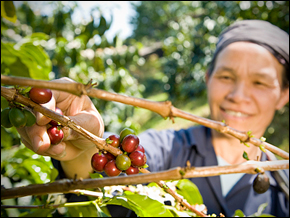 An indigenous women harvests coffee