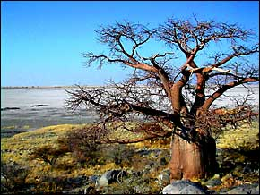 The Baobab tree has a spongy bark that is saturated with water to endure protracted droughts.