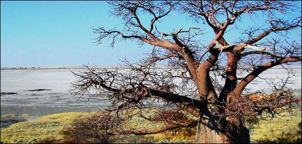 Baobab by Makgadikgadi Pans