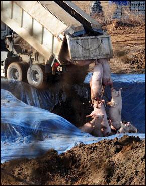 Pigs dumped from a dump truck
