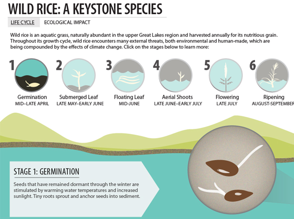 Infographic Wild Rice Great Lakes Wisconsin Minnesota Kelly Shea