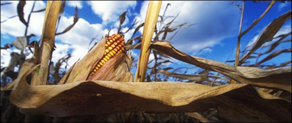Corn drought world grain stocks food supplies