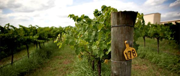 John Cruickshank Australia Hunter Valley vintner wine winery vineyard work force labor worker