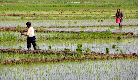 water saving rice production systems - 480×280