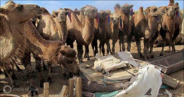 Camels outnumber people in Mongolia's South Gobi Desert.