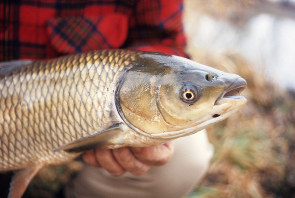 water Great Lakes Basin  watershed Asian carp grass carp Ohio Sandusky River spawn fisher USGS United State Geological Survey