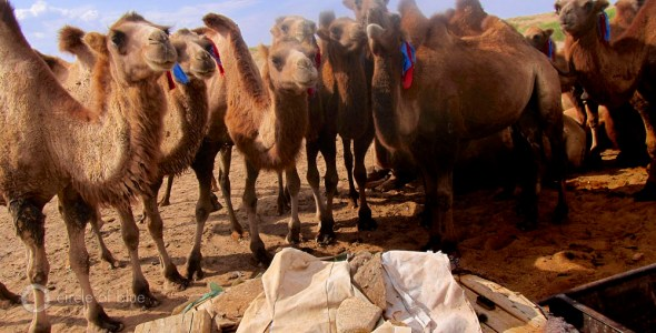 Camels, singing well, South Gobi, Khanbogd, Coal, water scarcity, South Gobi, Mongolia, Omnogovi, Tsogttsetsii, Oyu Tolgoi. Rio Tinto. copper mine, gold, water, food, energy, choke point, circle of blue wilson center, Keith Schneider