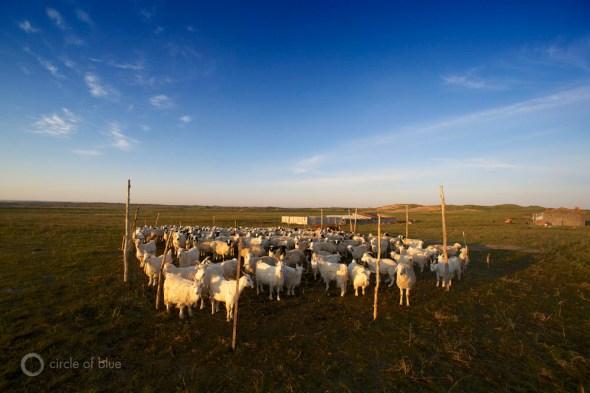 Sheep awaken at sunrise.