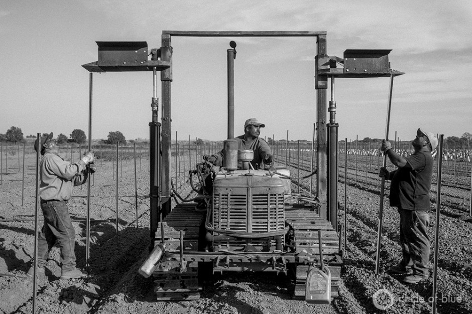 Workers install a grape trellis for a new vineyard being planted in the California Delta. Farmers in the region are concerned that the state's plan to install tunnels in the area to siphon water south will threaten their agricultural water supply.