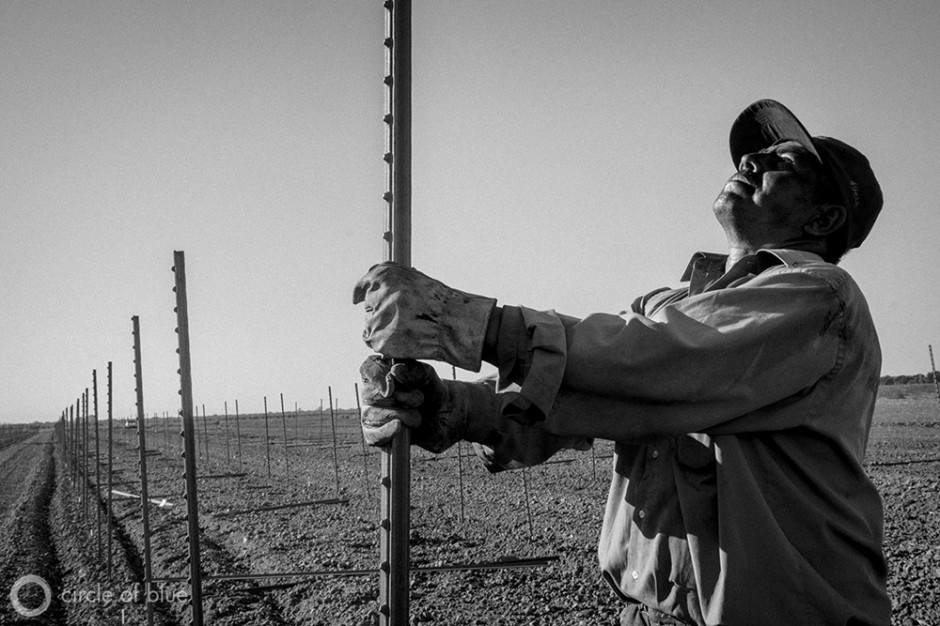 A worker installs a grape trellis for a new vineyard being planted in the California Delta. Farmers in the region are concerned that the state's plan to install tunnels in the area to siphon water south will threaten their agricultural water supply.